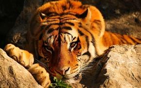 Картинка взгляд, тигр, камни, рыжий, лежит, задумчивый