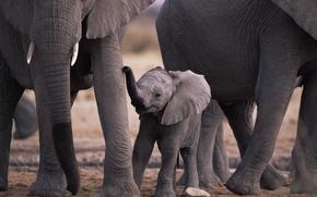 Обои elephants, животные, слоны, мама, малыш, природа, animals