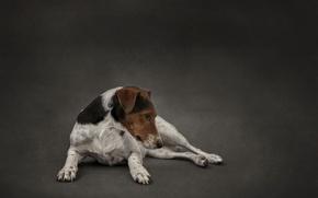 Картинка взгляд, друг, собака, Fox terrier