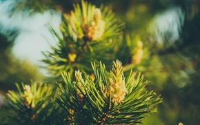 Картинка зелень, макро, иголки, елка, ель, шишки, сосна, шишечки