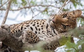 Картинка кошка, глаза, взгляд, дерево, большая, леопард