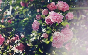 Картинка розовый, розы, украина
