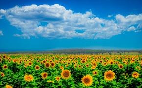 Картинка поле, небо, облака, подсолнухи, горизонт