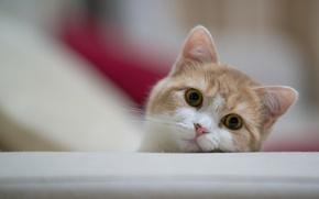 Картинка кошка, морда, Ben Torode, Hannah, Benjamin Torode, выгядывает