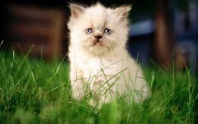 Картинка кошка, белый, кот, макро, котенок, фон, сидит, cat