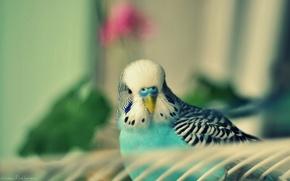 Картинка птица, попугай, птичка, бирюзовый, птенец, волнистый