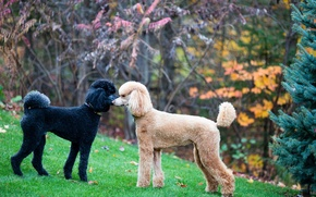 Картинка standard, poodle, face-off