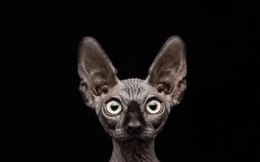 Картинка кот, чёрный фон, сфинкс