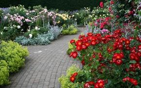 Обои цветы, разноцветные, сад, кусты, розы, Devon, Великобритания, дорожки, Rosemoor Garden