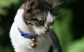 Обои ошейник, колокольчик, кот