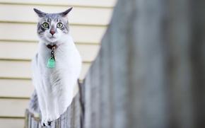 Обои кошка, прогулка, забор