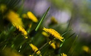 Картинка лето, природа, Цветы, одуванчики
