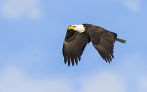 Картинка sky, flight, bald eagle