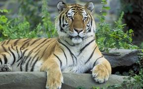 Обои тигр, Siberian tiger, сибирский