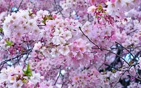 Обои вишня, дерево, розовый, весна, сакура