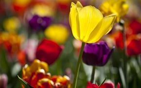 Обои тюльпаны, разные, солнечно, много