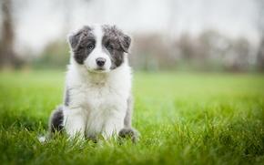 Картинка поле, трава, собака, луг, щенок, обои от lolita777, аусси, серый с белым