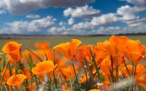 Картинка небо, облака, оранжевый, контраст, эшшольция, калифорнийский мак