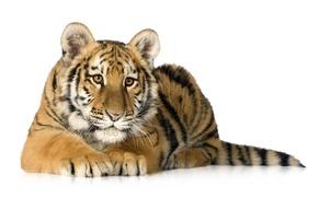 Картинка тигр, хищник, белый фон, тигрёнок
