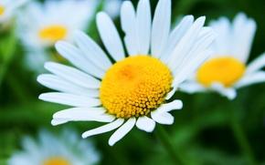 Картинка лето, ромашки, красивые цветы