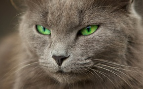 Картинка кошка, размытость, серая, зеленые глаза