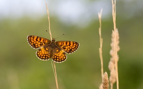 Картинка бабочки, стебли, крылья, усики, wings, butterfly, antennae, stalks, open wings, открытые крылья