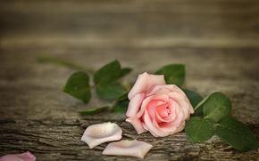 Картинка цветок, вода, капли, доски, роза, лепестки