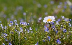 Картинка поле, трава, лепестки, ромашка, луг