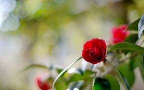 Обои размытость, камелия, блики, цветок