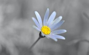 Картинка цветок, лепестки, ромашка