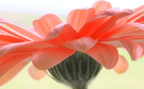 Картинка цветок, лепестки, гербера