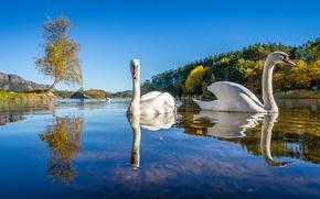 Картинка осень, деревья, птицы, озеро, Норвегия, лебеди, Lutsivannet