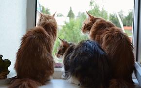 Картинка кошки, трое, мейн-кун