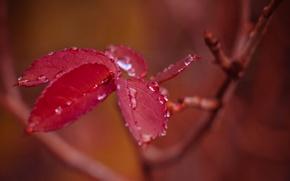 Картинка листья, капли, ветка, после дождя, красные, боке, осенние