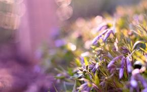 Картинка цветы, блики, бутоны, сиреневые