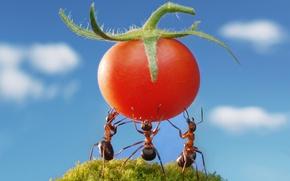 Картинка лето, небо, макро, насекомые, мох, ситуация, муравьи, обои от lolita777, помидорка, силачи