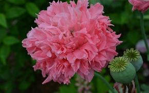 Картинка лето, розовый, мак, август, дача, Пион, пионовидный, чудесно
