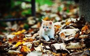 Картинка котенок, листва, Осень