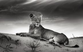 Картинка песок, кошка, облака, иглы, львица