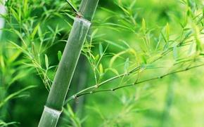 Картинка листья, стебель, Бамбук