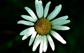 Картинка цветок, цветы, ромашки, ромашка, flower, flowers, daisy, chamomile