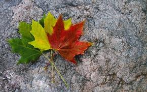 Картинка листья, желтый, красный, зеленый, три, разноцветные, кленовые, осенние