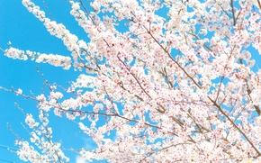 Картинка небо, цветы, ветки, весна, лепестки, сад