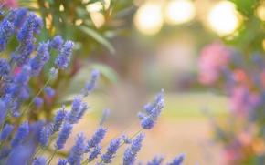 Обои цветы, гоолубые, лаванда, блики