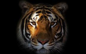 Картинка морда, тигр, портрет