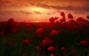 Картинка рассвет, маки, dawn, poppies, маковое поле, poppy field
