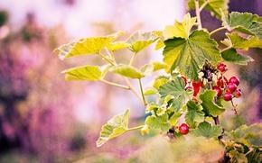 Картинка листья, ветки, ягоды, фон, красные