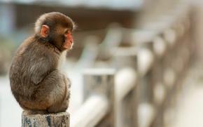 Картинка обезьяна, сидит, маленькая, макака