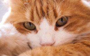 Обои кошка, взгляд, мордочка, рыжий кот