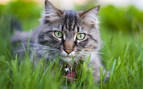 Обои кошка, цветы, cat, киса, котенок, котэ, киска, трава, кот